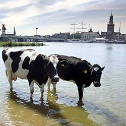 koeien bij kampen