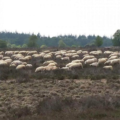 schaapskudde op Ermelosche Heide heide